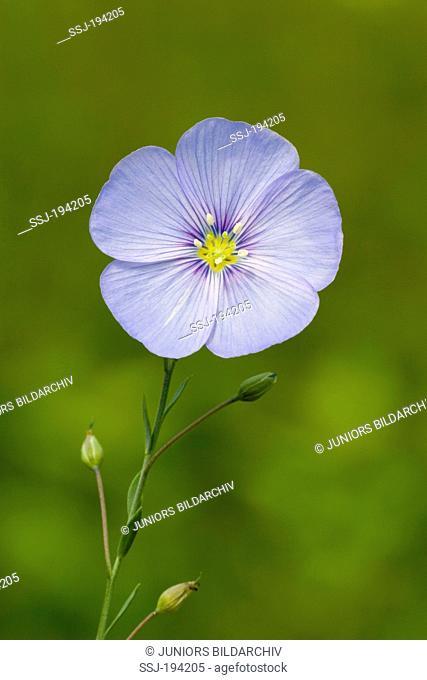 Blue Flax, Perennial Flax (Linum perenne), single flower. Germany