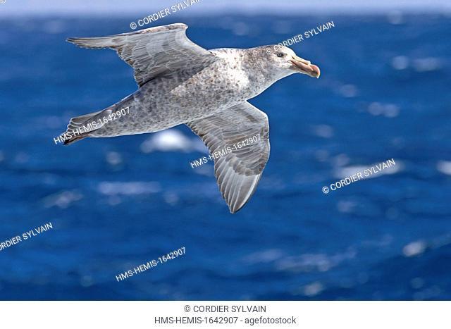Antarctic, Ocean between Falklands Islands and South Georgia, South Georgia, Southern Giant Petrel (Macronectes giganteus), Subantarctic species