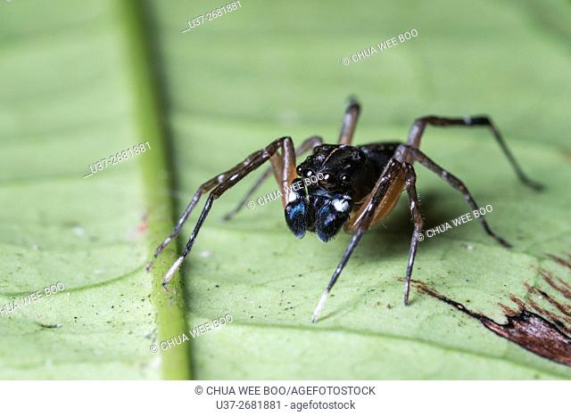 Jumping spider. Image taken at Stutong Forest Reserve Park, Kuching, Sarawak, Malaysia