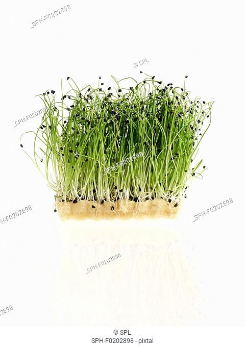 Sprouting micro leek