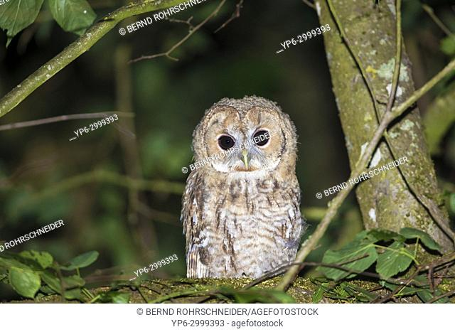 Tawny owl (Strix aluco), young perched on tree at night, Trier, Rhineland-Palatinate, Germany