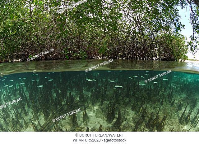 Aerial Roots, Mangroves, Alor, Lesser Sunda Islands, Indo-Pacific, Indonesia