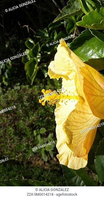 Hibiscus sp. in Caracss Venezuela