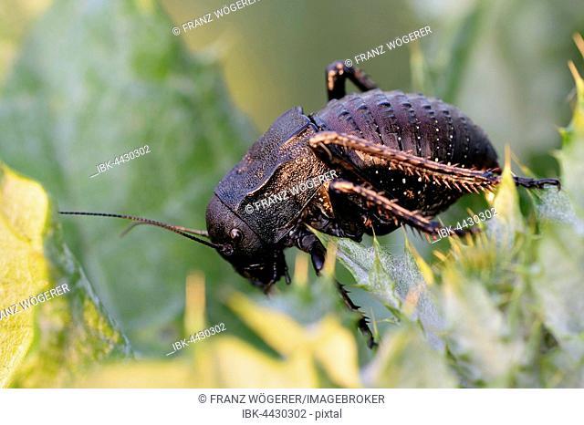 Bush cricket (Bradyporus Dasypus) on thistle, Pleven, Bulgaria