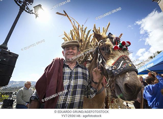 Mule driver loading up in his donkey cane sugar in the celebration of 1st Day of Honey Cane in Frigiliana. Frigiliana, Andalusia, Spain, Europe