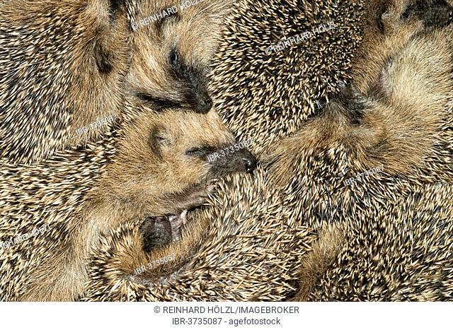 European Hedgehog or Common Hedgehog (Erinaceus europaeus), seven young hedgehogs in the nest, Tyrol, Austria