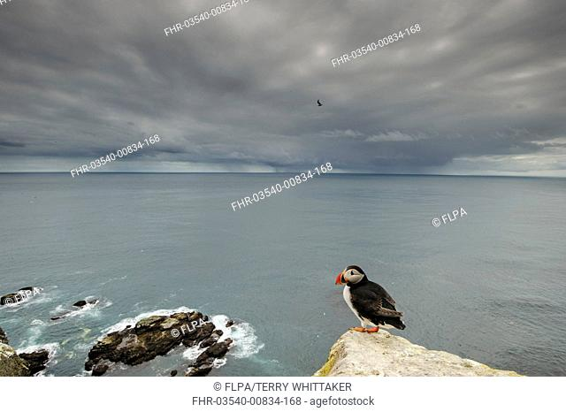 Atlantic Puffin (Fratercula arctica) adult, breeding plumage, standing on clifftop in coastal habitat with distant rainclouds, Latrabjarg, Iceland, July