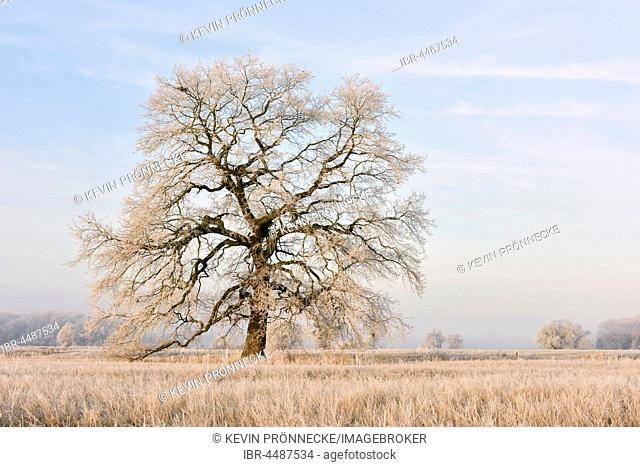 Solitary oak with hoarfrost, English oak (Quercus robur), Middle Elbe Biosphere Reserve, Saxony-Anhalt, Germany