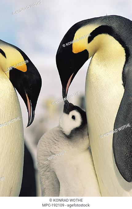 EMPEROR PENGUIN (Aptenodytes forsteri) PARENTS WITH CHICK, ANTARCTICA