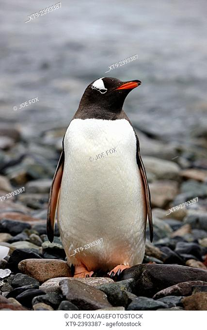 single gentoo penguin standing on rocky beach on cuverville island antarctica