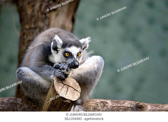 Ring-tailed Lemur (Lemur catta) on a tree stump in a zoo. Germany