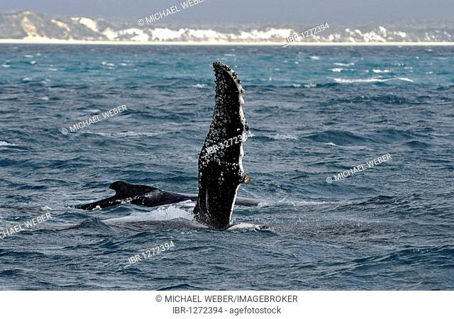 Species-specific pec slap, slap with the pectoral fin, of a Humpback Whale (Megaptera novaeangliae) in front of Fraser Island, Hervey Bay, Queensland, Australia