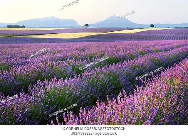 Lavender field Lavandula augustifolia, Valensole, Plateau de Valensole, Alpes-de-Haute-Provence, Provence-Alpes-Cote d'Azur, Provence, France