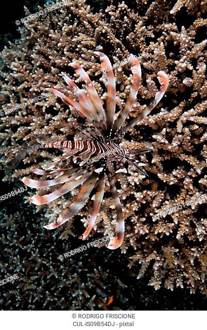 Marine animal on coral, Red Sea, Marsa Alam, Egypt