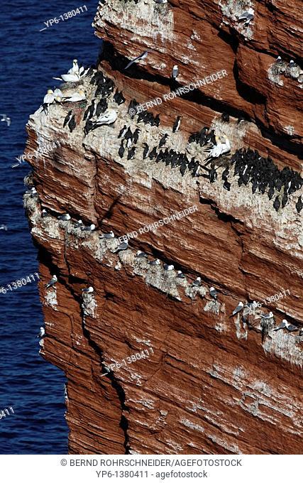 bird rock with breeding Common Murres Uria aalge, Black-legged Kittiwakes Rissa tridactyla und Northern Gannets Morus bassanus, Heligoland, Germany