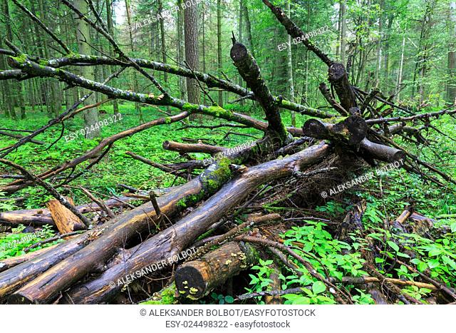 Deciduous stand rain after in summer with aspen logs moss wrapped lying,Bialowieza Forest,Poland,Europe