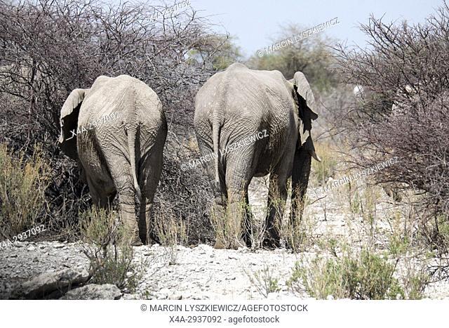 A pair of adult African elephants (Loxodonta africana), Etosha National Park, Namibia