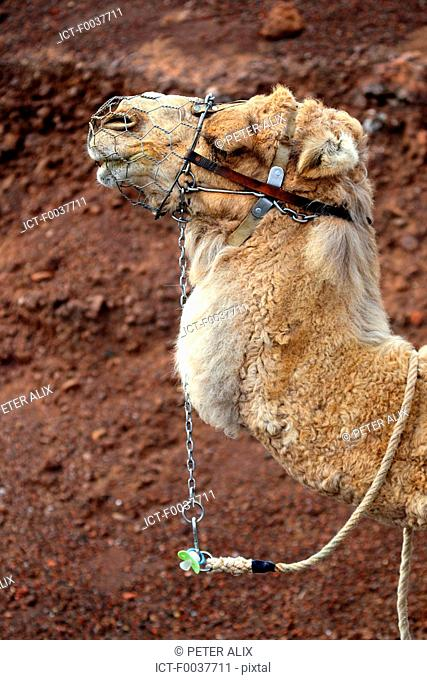 Spain, Canary islands, Lanzarote, National park of Timanfaya, camels