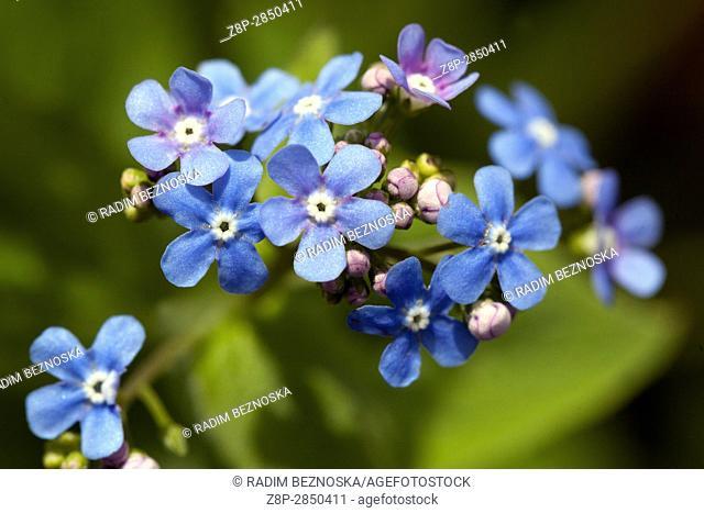 Flowering Siberian bugloss Brunnera macrophylla