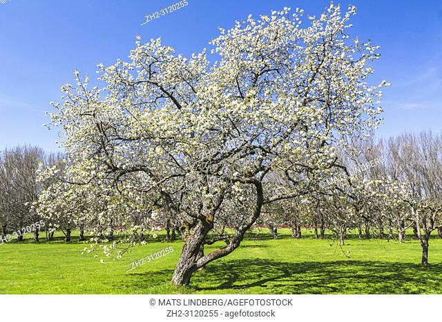 Blooming apple tree in spring season on a lawn with trees in background, Södermanland, Sweden