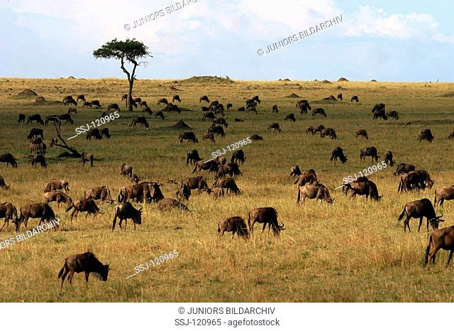 Herd of brindled gnus - in Savanne / Connochaetes taurinus albojubatus