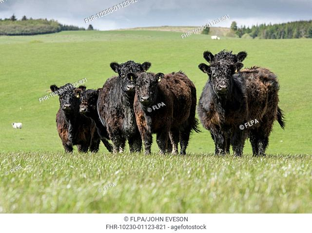 Domestic Cattle, Galloway herd, standing in pasture, Dumfries, Dumfries and Galloway, Scotland, May