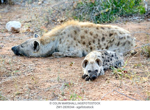 Spotted Hyena (Crocuta crocuta) aka Laughing Hyena lying on ground with juvenile, Kruger National Park, Transvaal, South Africa
