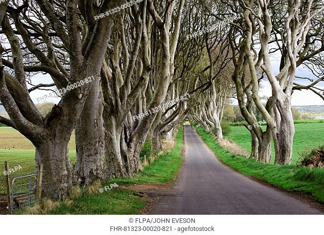 Trees lining rural road in farmland, County Antrim, Northern Ireland, may