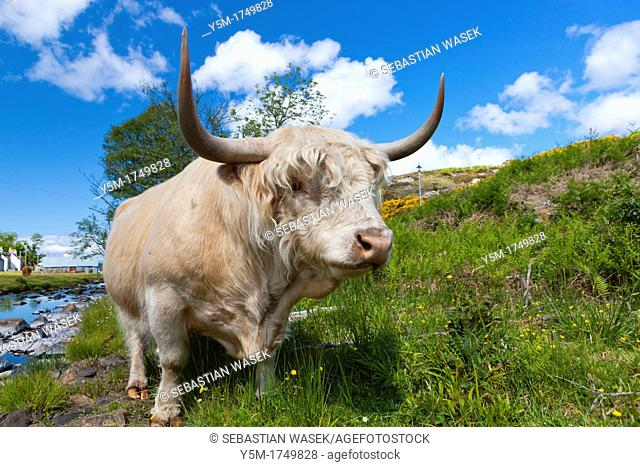 Scottish Highland Cow, Duirinish, Highland region, Scotland, United Kingdom, Europe
