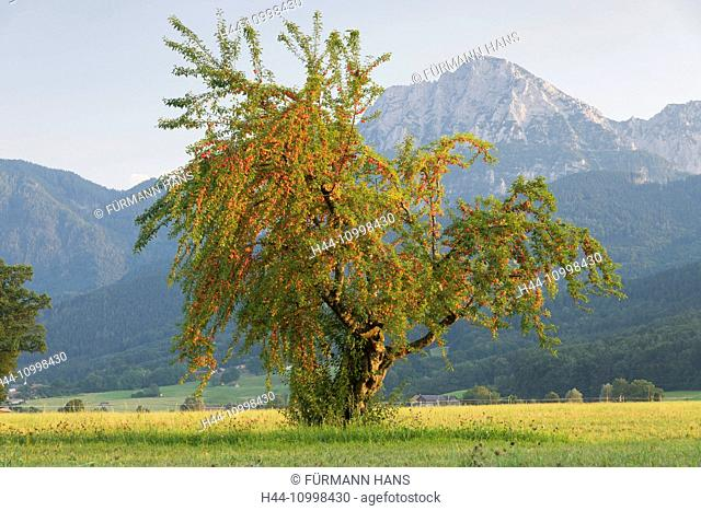 Fruit-tree in Anger with Hochstaufen in the background