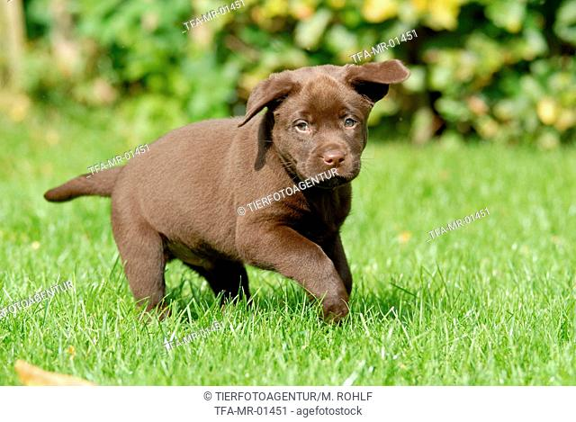 running Labrador Retriever