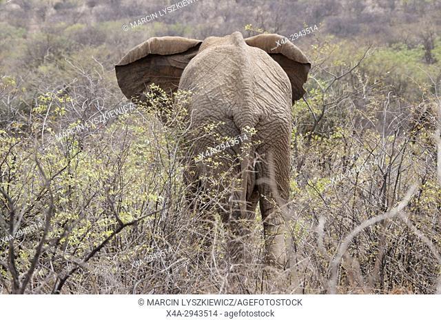 African elephant (Loxodonta africana) in a bush, Etosha National Park, Namibia