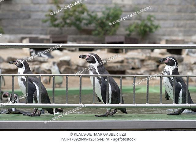 Humboldt penguins wait to be fed at the Bergzoo (Mountain Zoo) in Halle, Germany, 12 September 2017. Photo: Klaus-Dietmar Gabbert/dpa-Zentralbild/ZB