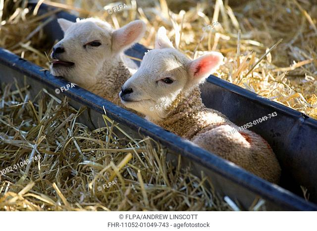 Domestic Sheep, two lambs, resting in trough, North Yorkshire, England, march