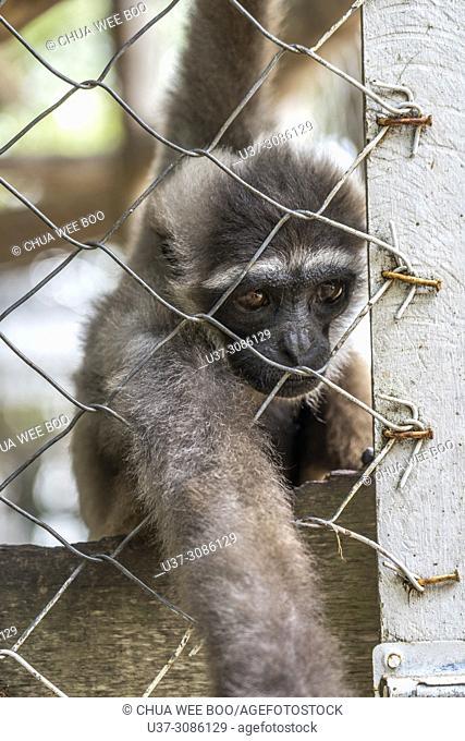 Monkey in cage at Tanjung Bajau zoo, Singkawang, West Kalimantan, Indonesia