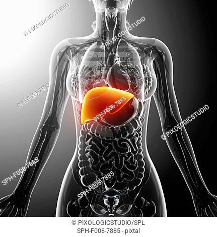 Human liver, computer artwork