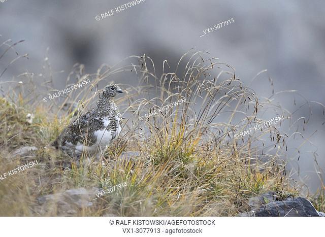 Rock Ptarmigan ( Lagopus muta ) in natural habitat, perfect camouflaged, wildlife, Europe