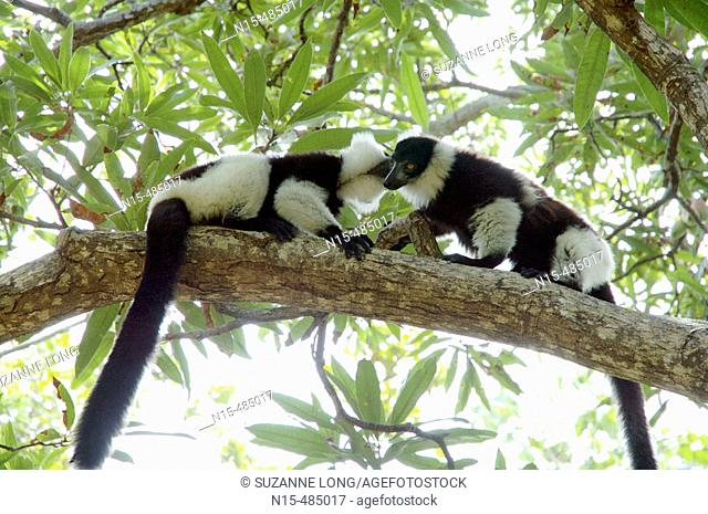 Two Black and white ruffed lemurs (Varecia variegata variegata) meeting in a mango tree, Ile aux Nattes (Nosy Nato), Madagascar