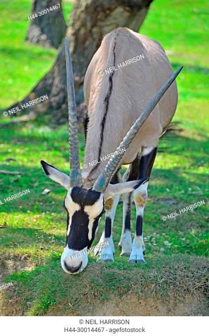 The long horns of the African Oryx, a species of antelope