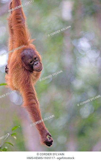 Malaysia, Sarawak state, Kuching, Semenggoh Wildlife Rehabilitation Center, Bornean orangutan (Pongo pygmaeus pygmaeus)