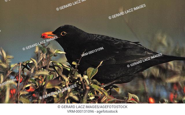 Blackbird, turdus merula, Male eating Berries from Cotoneaster, Normandy, Slow motion