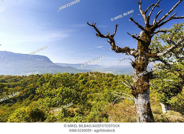 Dead oak tree and forest. Aralar mountain range. Navarre, Spain, Europe