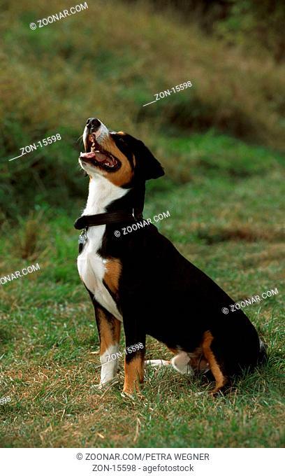 Entlebuch Mountain Dog  /  Entlebucher Sennenhund  /  [Saeugetiere, mammals, animals, Haushund, domestic dog, Haustier, Heimtier, pet, aussen, outdoor