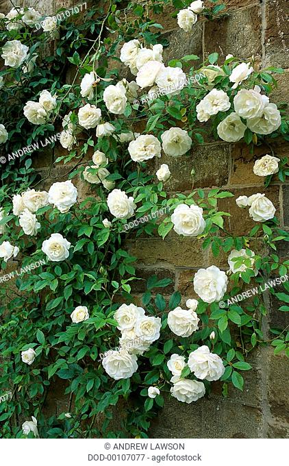Leaves and flowers from Rosa 'Climbing Iceberg'