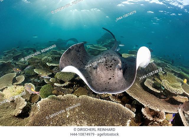 Schwarzflecken-Stachelrochen, Taeniura meyeni, Ellaidhoo Hausriff, Nord Ari Atoll, Malediven, Blackspotted Stingray, Taeniura meyeni, Ellaidhoo House Reef