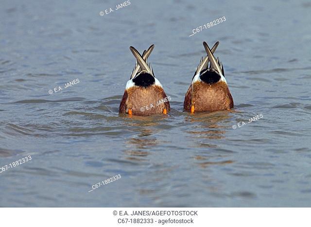 Shoveler Anas clypeata Drakes feeding together