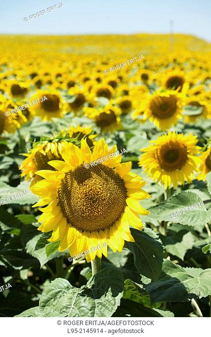 Huge field cultivated with sunflower for oil, production, Spain