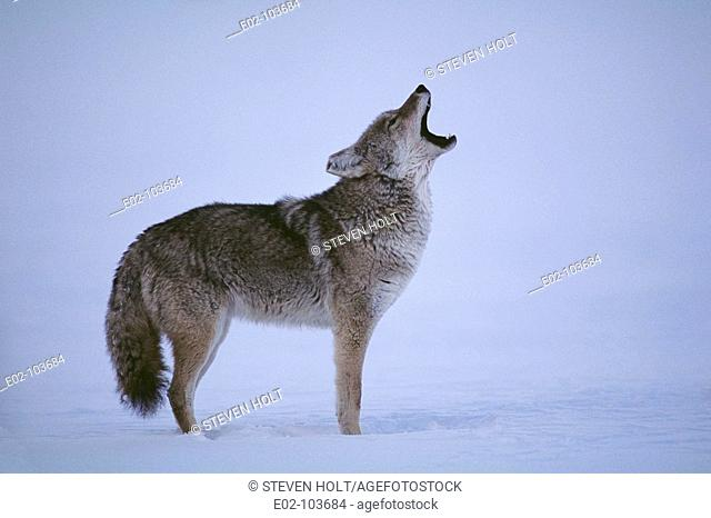 Coyote (Canis latrans), Yellowstone National Park. Wyoming, USA