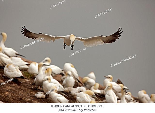 Northern gannet, landing, Canada