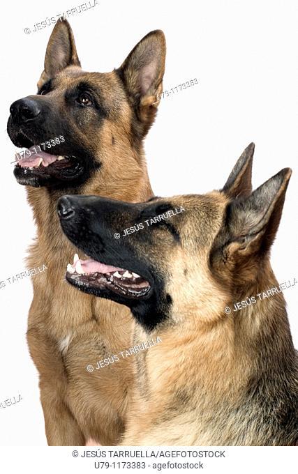 Portrait half length profile of two German Shepherd dogs sitting